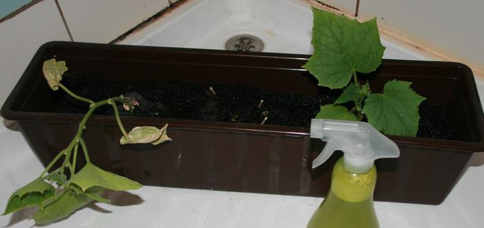 Условия для выращивания огурцов в домашних условиях