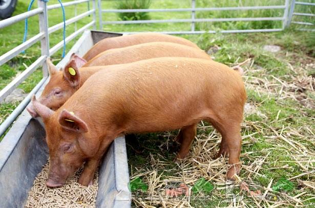Корм для свиньи своими руками